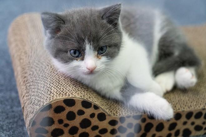 Vào ngày 21 tháng Bảy năm 2019, Bé Tỏi - con mèo nhân bản đầu tiên của Trung Quốc ra đời - Ảnh 1.