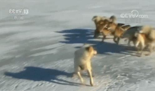 Đây là nguyên nhân khiến chó kéo xe ở Greenland đứng trước nguy cơ bị thất nghiệp - Ảnh 2.