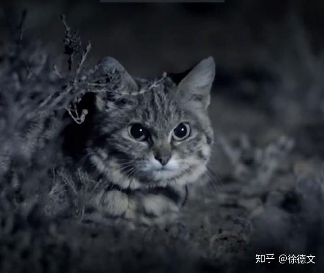 Mèo chân đen: Nhìn thì có vẻ ngây thơ nhưng chúng lại là loài mèo nguy hiểm nhất trên Trái Đất - Ảnh 1.