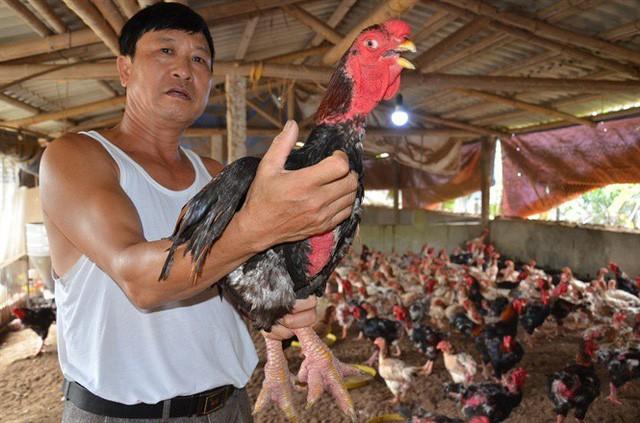 Hết thời gà lai Đông Tảo: Giá đã rẻ lại ế, càng nuôi càng lỗ nặng - Ảnh 1.