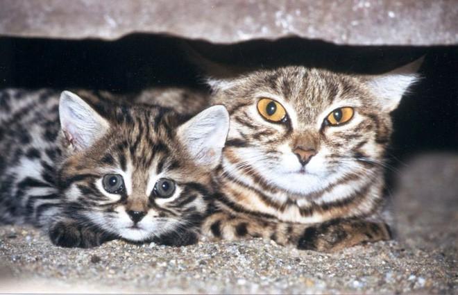 Mèo chân đen: Nhìn thì có vẻ ngây thơ nhưng chúng lại là loài mèo nguy hiểm nhất trên Trái Đất - Ảnh 12.