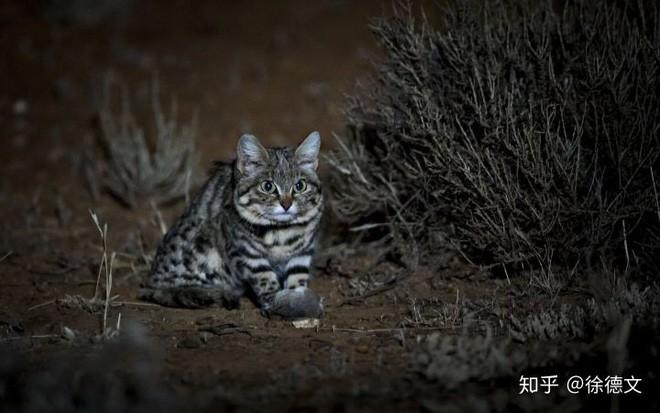 Mèo chân đen: Nhìn thì có vẻ ngây thơ nhưng chúng lại là loài mèo nguy hiểm nhất trên Trái Đất - Ảnh 3.