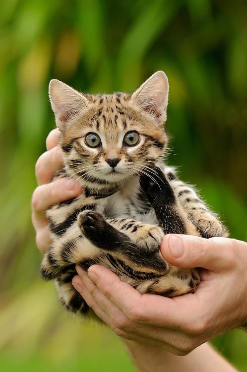 Mèo chân đen: Nhìn thì có vẻ ngây thơ nhưng chúng lại là loài mèo nguy hiểm nhất trên Trái Đất - Ảnh 5.