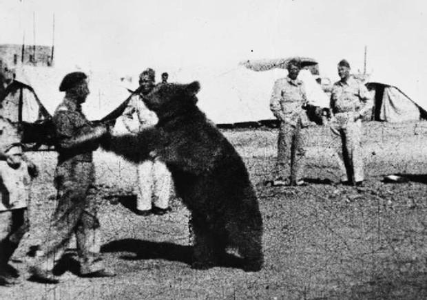 Cuộc đời kì lạ của binh nhì gấu Wojtek: Sống và chiến đấu như người lính thực thụ rồi trở thành anh hùng đáng tự hào của người Ba Lan - Ảnh 1.