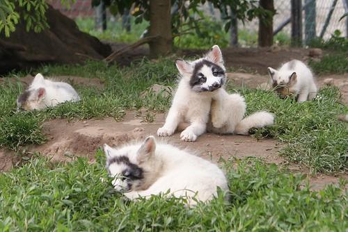 Thí nghiệm thuần hóa của Nga biến loài cáo bạc trở thành chó - Ảnh 12.