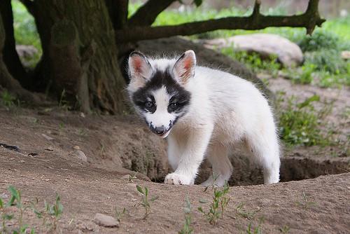 Thí nghiệm thuần hóa của Nga biến loài cáo bạc trở thành chó - Ảnh 13.