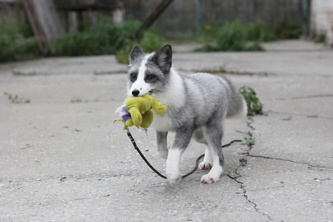 Thí nghiệm thuần hóa của Nga biến loài cáo bạc trở thành chó - Ảnh 16.