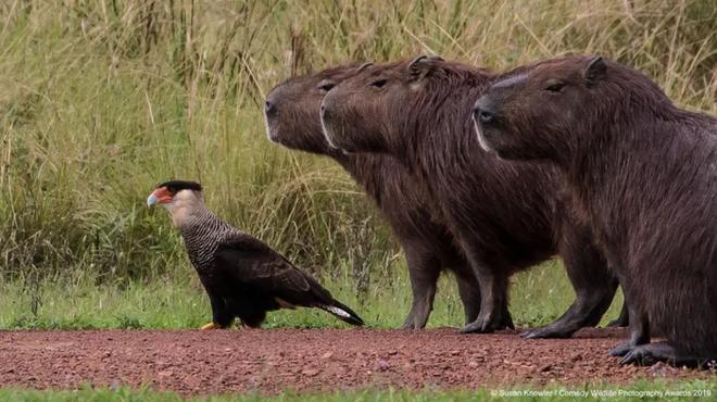Những bức ảnh siêu hài hước trong chung kết cuộc thi nhiếp ảnh động vật hoang dã Comedy - Ảnh 19.