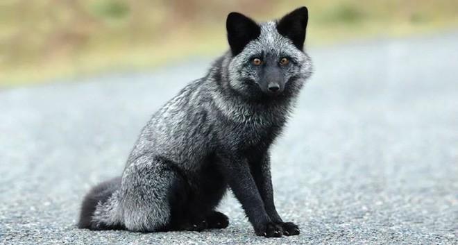 Thí nghiệm thuần hóa của Nga biến loài cáo bạc trở thành chó - Ảnh 4.