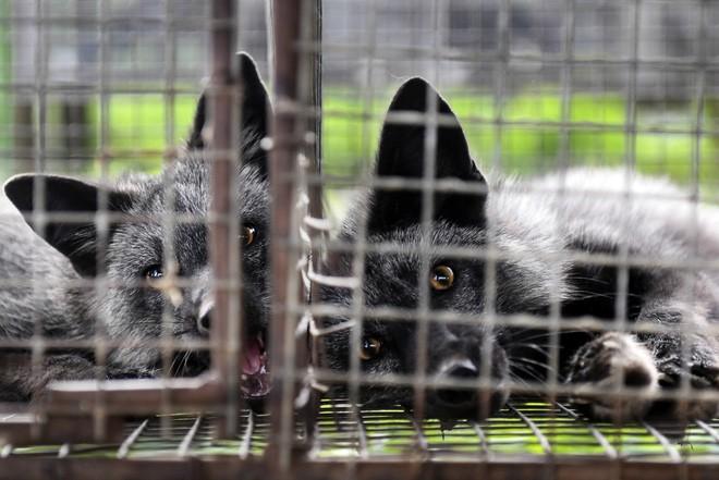 Thí nghiệm thuần hóa của Nga biến loài cáo bạc trở thành chó - Ảnh 5.