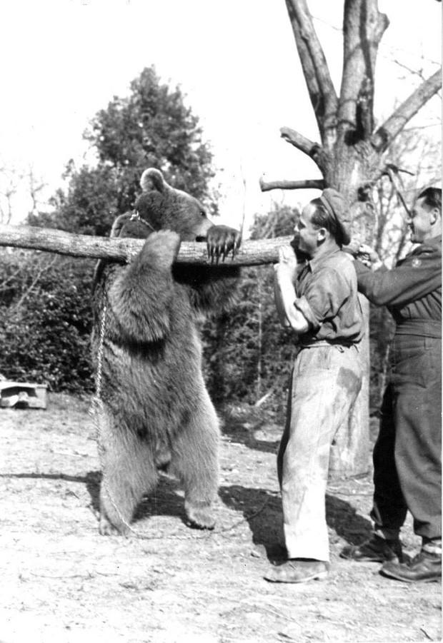 Cuộc đời kì lạ của binh nhì gấu Wojtek: Sống và chiến đấu như người lính thực thụ rồi trở thành anh hùng đáng tự hào của người Ba Lan - Ảnh 4.