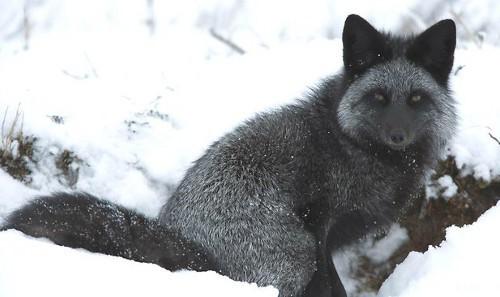Thí nghiệm thuần hóa của Nga biến loài cáo bạc trở thành chó - Ảnh 6.