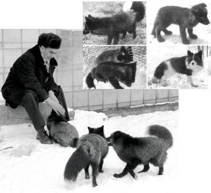 Thí nghiệm thuần hóa của Nga biến loài cáo bạc trở thành chó - Ảnh 8.