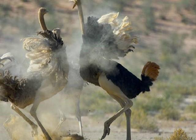 Đà điểu, loài chim lớn nhất thế giới - Ảnh 2.