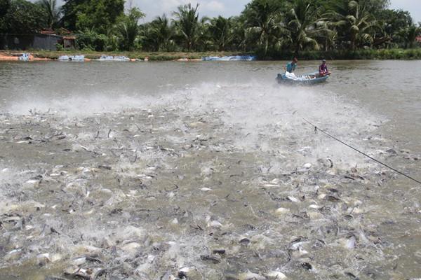 Chuyện Tám Đậu còng lưng nuôi 2.000 tấn cá/năm, ôm tiền tỷ lo chuyện thiên hạ - Ảnh 1.