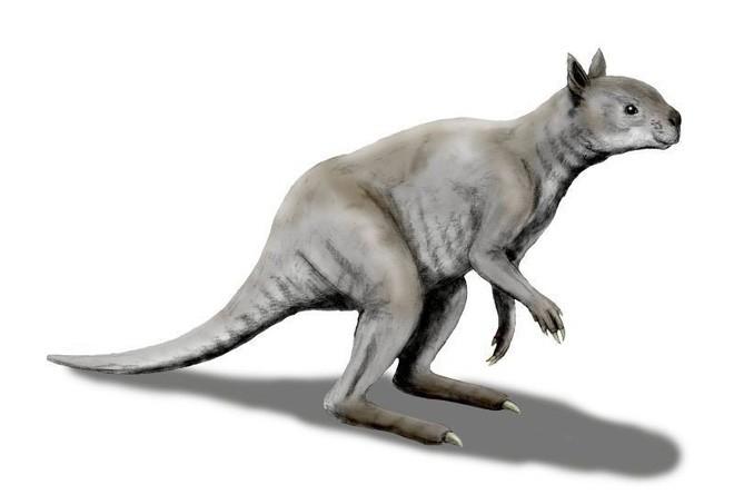 Kangaroo thời cổ đại: Cao tới 3m, nặng hơn 100kg, xương hàm cứng như thép có thể xẻ đôi thân cây lớn - Ảnh 1.