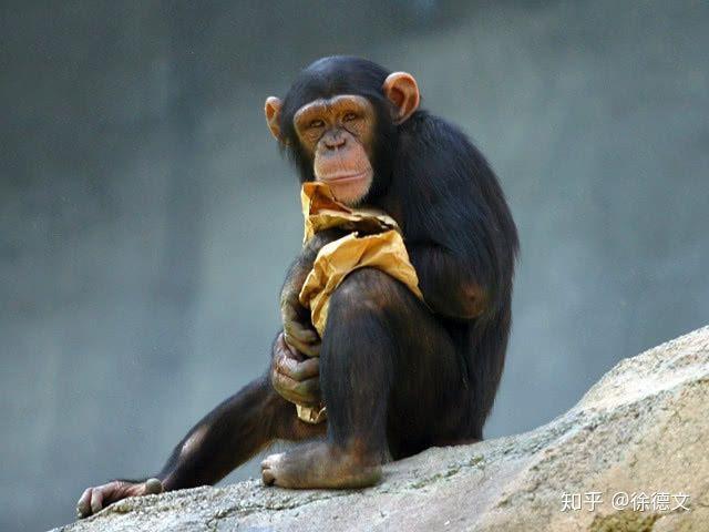 Nếu loài người bị diệt vong, liệu tinh tinh có tiếp tục tiến hóa để trở thành loài người hay không? - Ảnh 1.