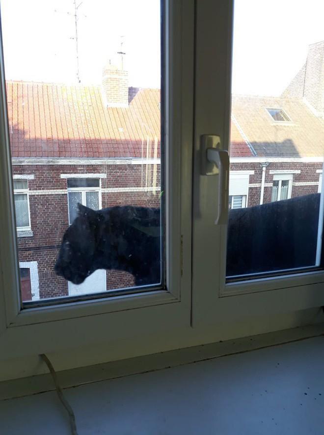 Tin khẩn: Con báo đen leo trèo khắp các mái nhà ở Pháp đã bị kẻ gian vào tận sở thú bắt cóc - Ảnh 1.