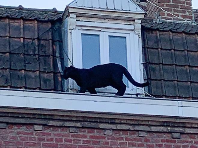 Tin khẩn: Con báo đen leo trèo khắp các mái nhà ở Pháp đã bị kẻ gian vào tận sở thú bắt cóc - Ảnh 2.