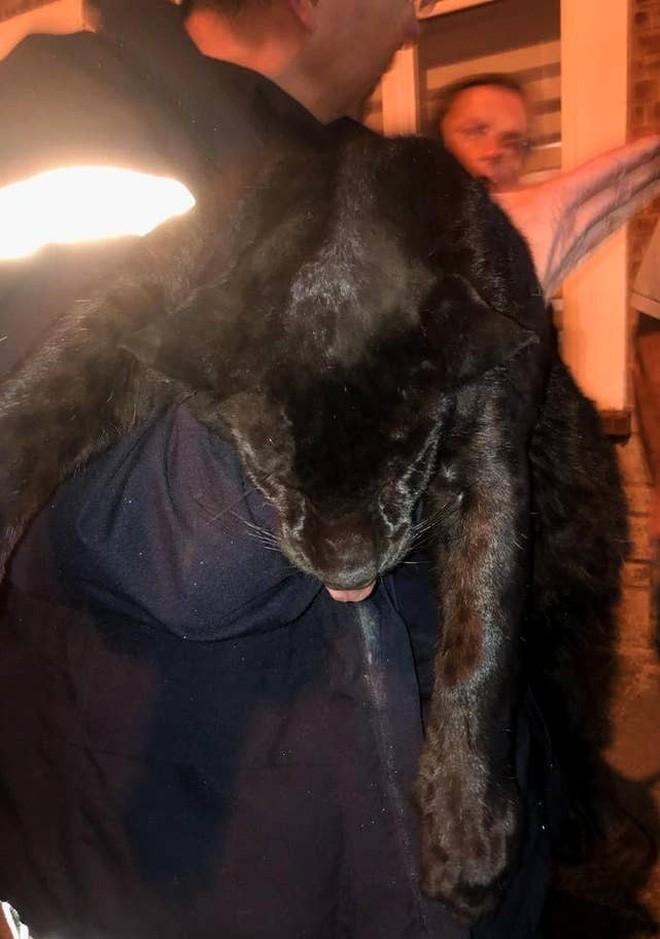 Tin khẩn: Con báo đen leo trèo khắp các mái nhà ở Pháp đã bị kẻ gian vào tận sở thú bắt cóc - Ảnh 3.