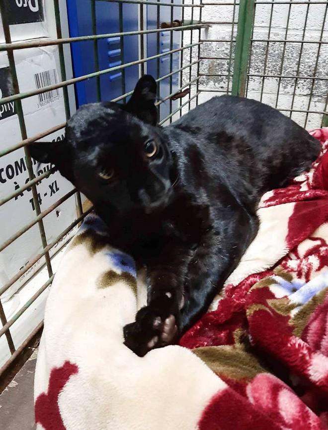 Tin khẩn: Con báo đen leo trèo khắp các mái nhà ở Pháp đã bị kẻ gian vào tận sở thú bắt cóc - Ảnh 4.