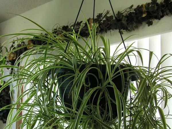 8 loại cây nên trồng trong nhà để thanh lọc, làm sạch không khí - Ảnh 7.