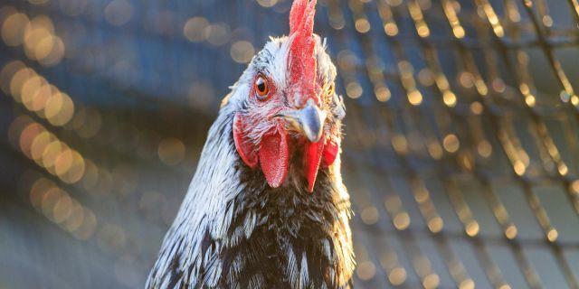 Bà lão bị gà mổ chết khi vào chuồng nhặt trứng - Ảnh 1.