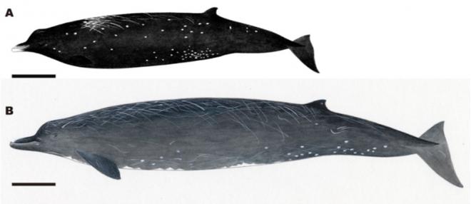 Các nhà khoa học phát hiện ra loài cá voi mới có mỏ như chim trên bờ biển Nhật Bản - Ảnh 1.