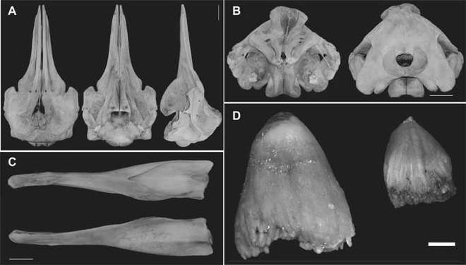 Các nhà khoa học phát hiện ra loài cá voi mới có mỏ như chim trên bờ biển Nhật Bản - Ảnh 2.