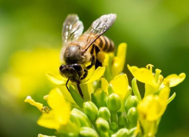 Các nhà khoa học muốn biến loài ong thành đội quân chuyên dò vật liệu nổ và phóng xạ - Ảnh 1.