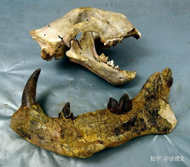 Trên thực tế, chiều dài của xương hàm loài này đã to lớn hơn cả kích thước hộp sọ của loài sư tử hiện đại.