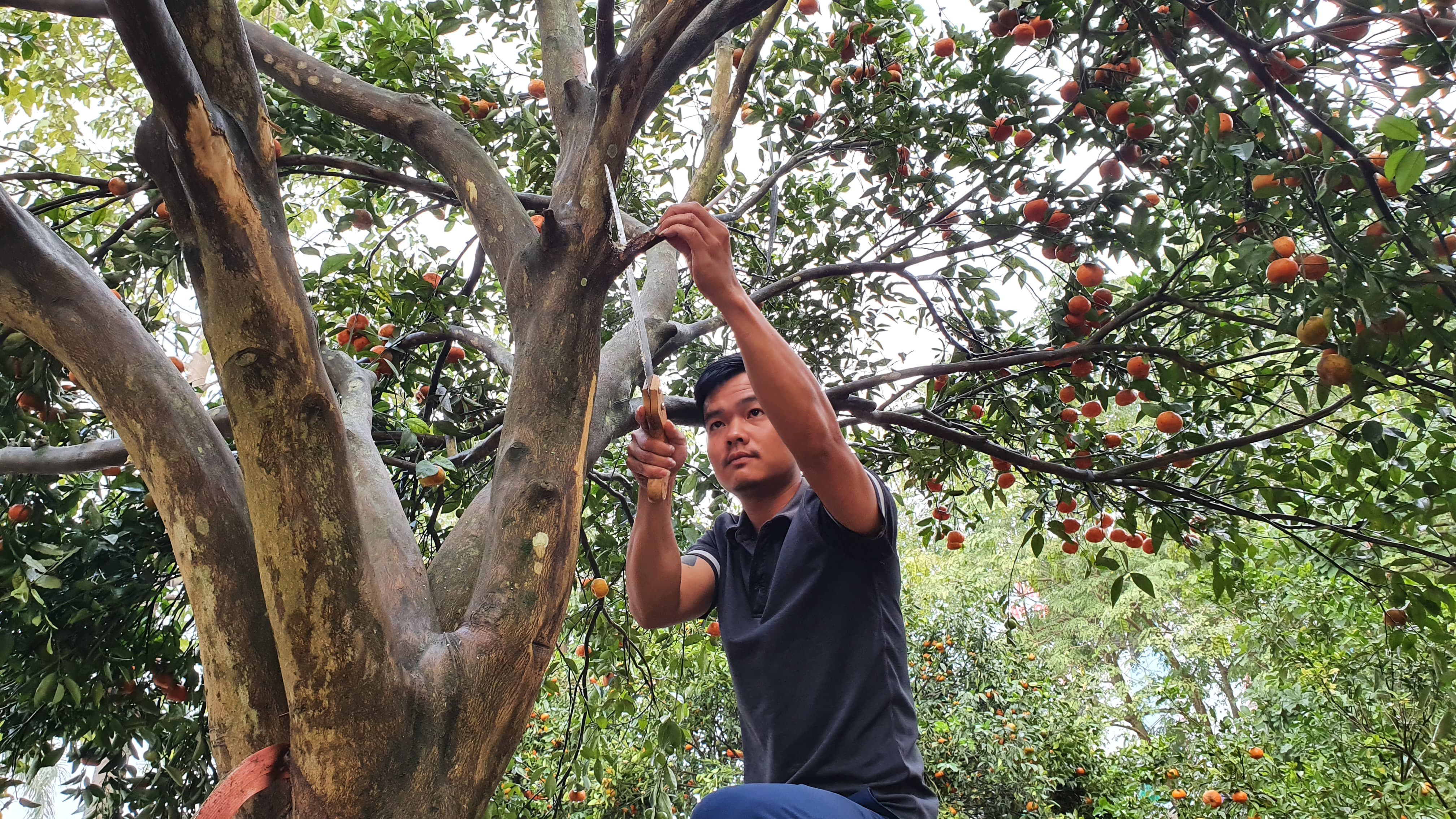 Chiêm ngưỡng cây quýt cổ thụ chưng Tết được đào từ rừng về có giá 100 triệu đồng - Ảnh 6.