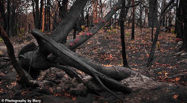 Phượng hoàng lửa tái sinh từ đống tro tàn: Những mầm sống vươn mình tại nơi hứng chịu sự càn quét của Thảm hoạ cháy rừng - Ảnh 1.