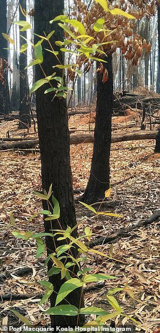 Phượng hoàng lửa tái sinh từ đống tro tàn: Những mầm sống vươn mình tại nơi hứng chịu sự càn quét của Thảm hoạ cháy rừng - Ảnh 3.