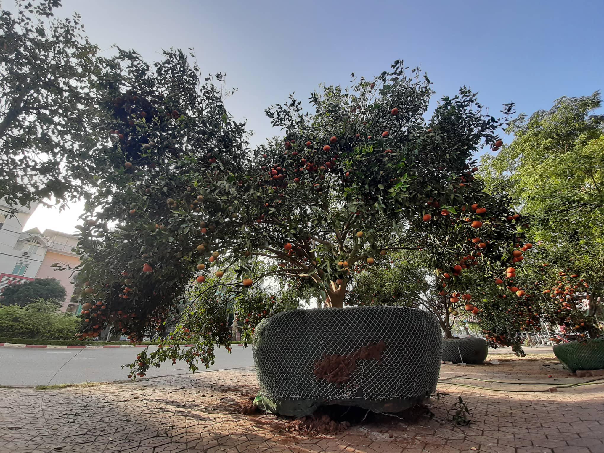 Chiêm ngưỡng cây quýt cổ thụ chưng Tết được đào từ rừng về có giá 100 triệu đồng - Ảnh 1.