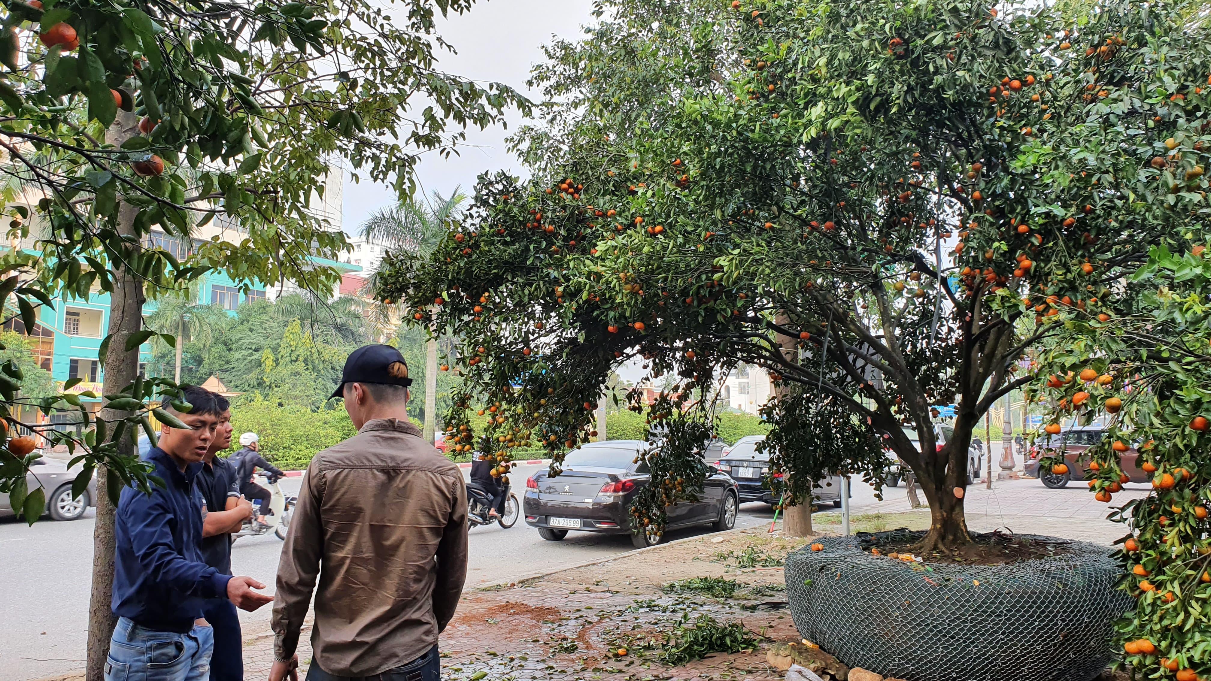 Chiêm ngưỡng cây quýt cổ thụ chưng Tết được đào từ rừng về có giá 100 triệu đồng - Ảnh 5.