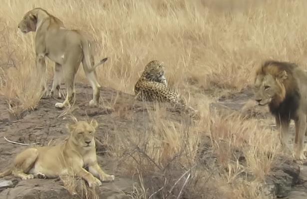 Báo hoa mai đực dùng khổ nhục kế thoát khỏi nanh vuốt của đàn sư tử - Ảnh 2.