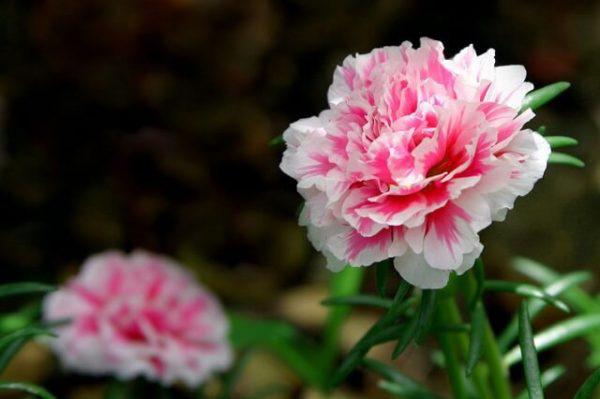 Vừa dễ cắm lại vừa đẹp, hoa cẩm chướng chính là loại hoa không thể thiếu trong ngày Tết - Ảnh 4.