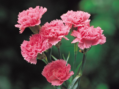 Vừa dễ cắm lại vừa đẹp, hoa cẩm chướng chính là loại hoa không thể thiếu trong ngày Tết - Ảnh 5.