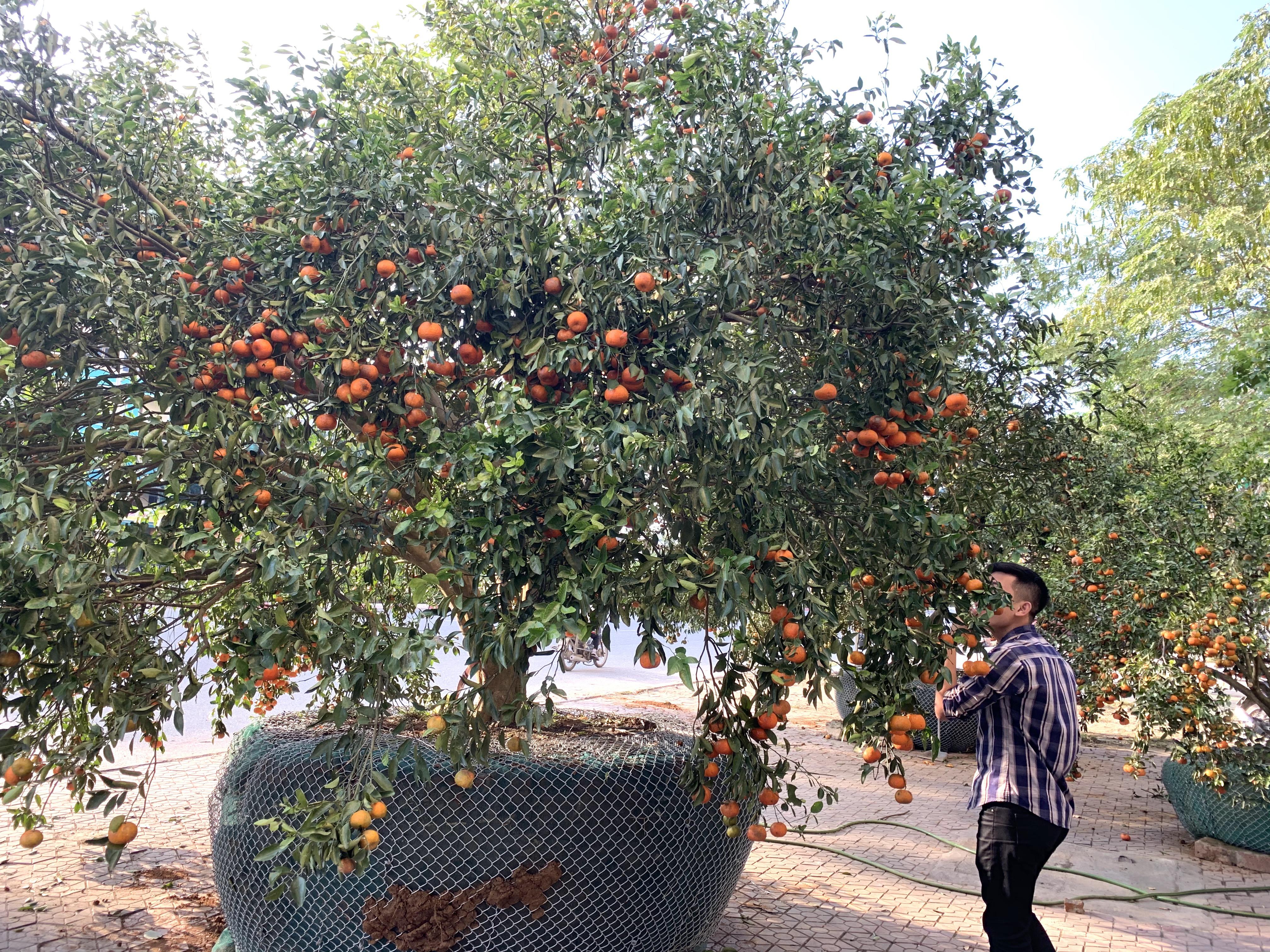 Chiêm ngưỡng cây quýt cổ thụ chưng Tết được đào từ rừng về có giá 100 triệu đồng - Ảnh 3.