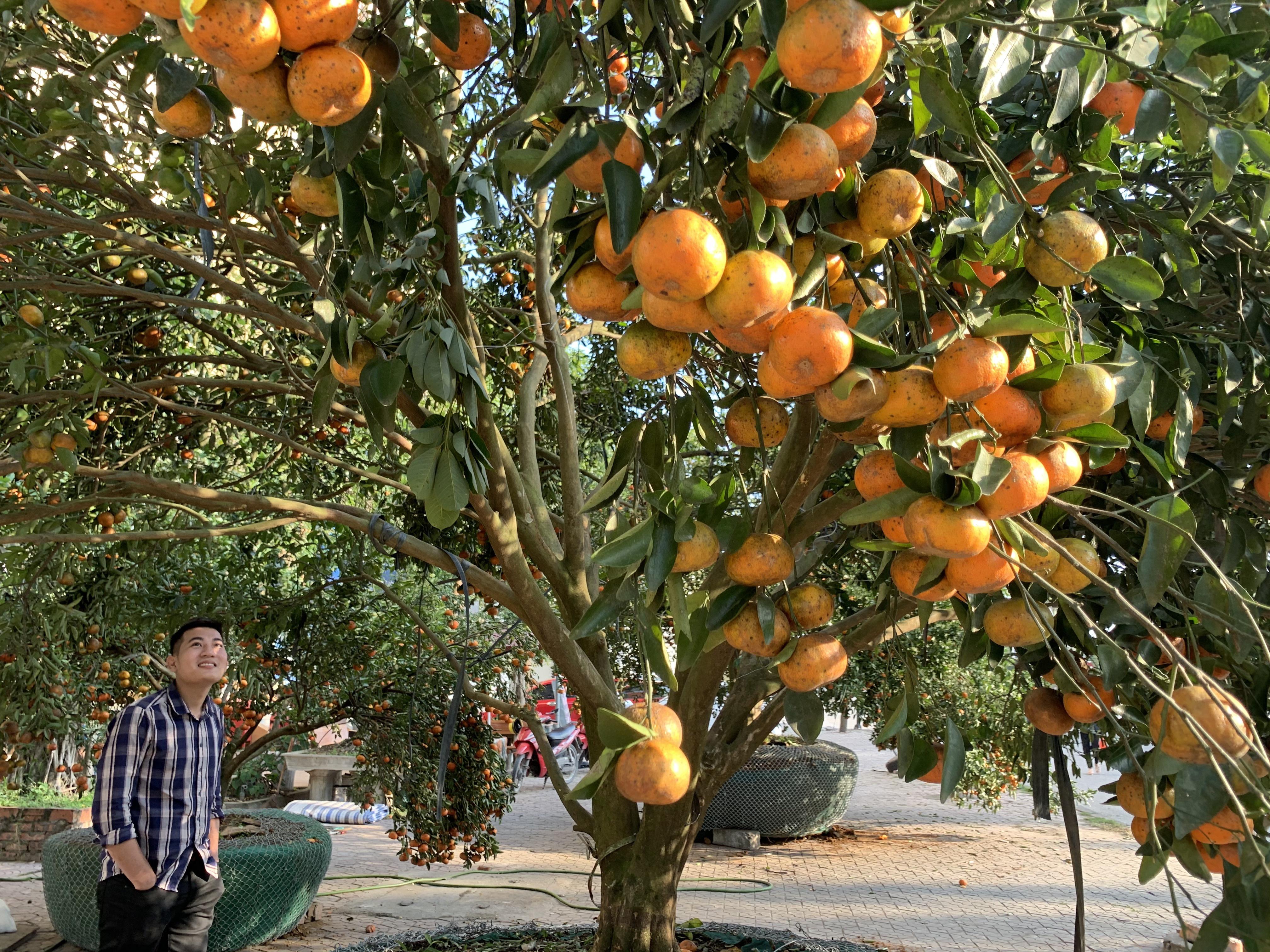Chiêm ngưỡng cây quýt cổ thụ chưng Tết được đào từ rừng về có giá 100 triệu đồng - Ảnh 13.