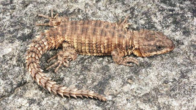 Thằn lằn lưới Cordylus phonolithos được tìm thấy ở ngọn núi cao thứ nhì Angola.