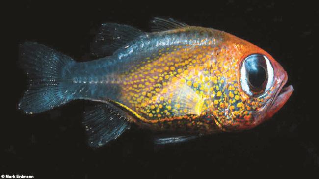 Cá hồng y mắt mèo được tìm thấy ở Papua New Guinea.
