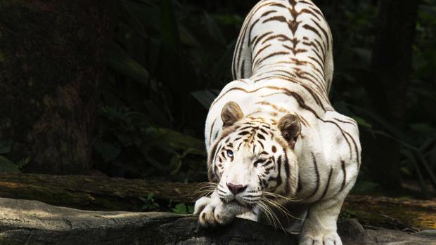 Sự thật đau lòng đằng sau những con hổ trắng oai hùng: Khi biểu tượng huyền thoại là sản phẩm của một ngành công nghiệp siêu lợi nhuận nhưng phi đạo đức - Ảnh 1.