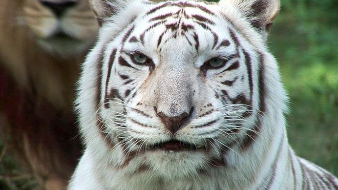 Sự thật đau lòng đằng sau những con hổ trắng oai hùng: Khi biểu tượng huyền thoại là sản phẩm của một ngành công nghiệp siêu lợi nhuận nhưng phi đạo đức - Ảnh 2.