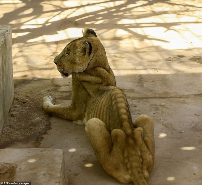 Xót xa hình ảnh chúa sơn lâm sư tử chỉ còn da bọc xương, đờ đẫn di chuyển trong vườn thú ở Châu Phi - ảnh 1