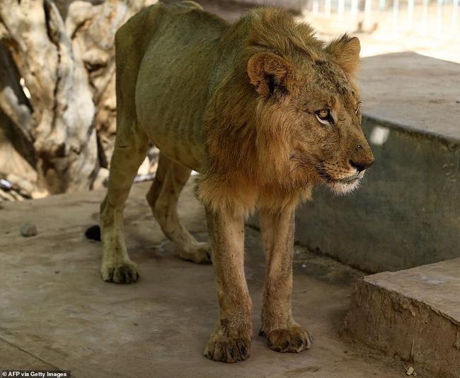 Xót xa hình ảnh chúa sơn lâm sư tử chỉ còn da bọc xương, đờ đẫn di chuyển trong vườn thú ở Châu Phi - ảnh 11