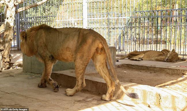 Xót xa hình ảnh chúa sơn lâm sư tử chỉ còn da bọc xương, đờ đẫn di chuyển trong vườn thú ở Châu Phi - ảnh 12