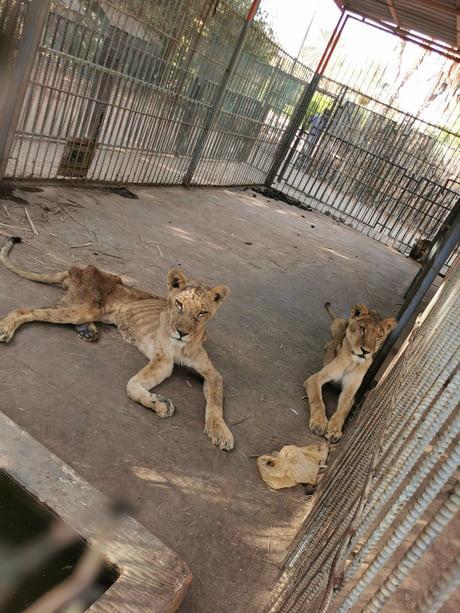 Xót xa hình ảnh chúa sơn lâm sư tử chỉ còn da bọc xương, đờ đẫn di chuyển trong vườn thú ở Châu Phi - ảnh 3