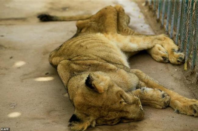 Xót xa hình ảnh chúa sơn lâm sư tử chỉ còn da bọc xương, đờ đẫn di chuyển trong vườn thú ở Châu Phi - ảnh 4